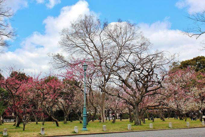 隠れた梅の名所「京都御苑」