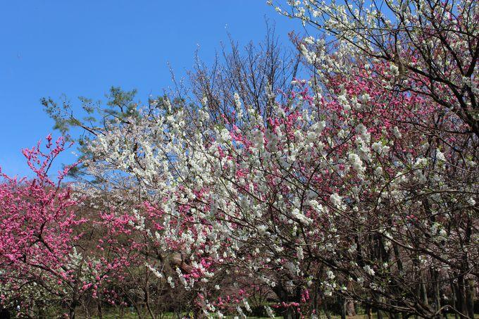 桜だけじゃない、桃の名所でもある「京都御苑」