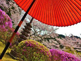 春もやっぱり1日100人限定!京都洛北・白龍園は春も見逃せない美しさ!