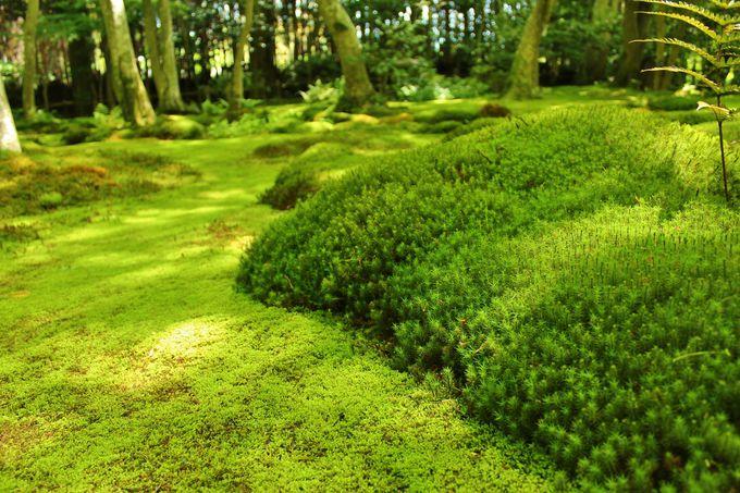 その苔のボリュームに驚愕!夏の「祇王寺」は苔を見よ!