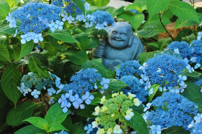 初公開の「甘露庭」は甘茶が咲く枯山水庭園