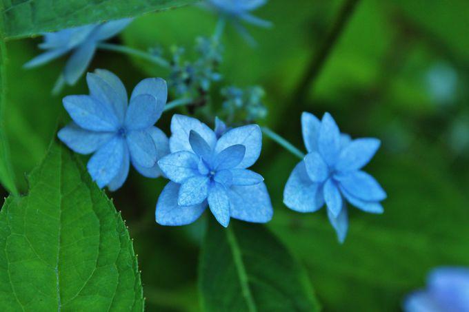 超珍種「シチダンカ」も咲く庭園
