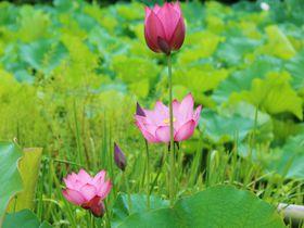 京都「法金剛院」は蓮の名所!早朝から極楽浄土へ