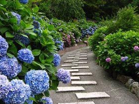 初夏の京都「善峯寺」へあじさいの絶景を見にいこう!