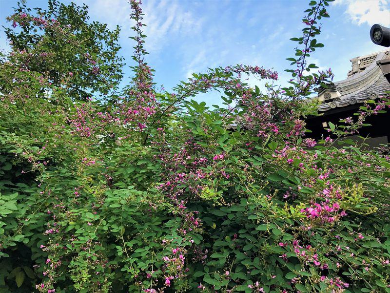 京都「梨木神社」は萩の名所!萩の宮で愛でる秋の花