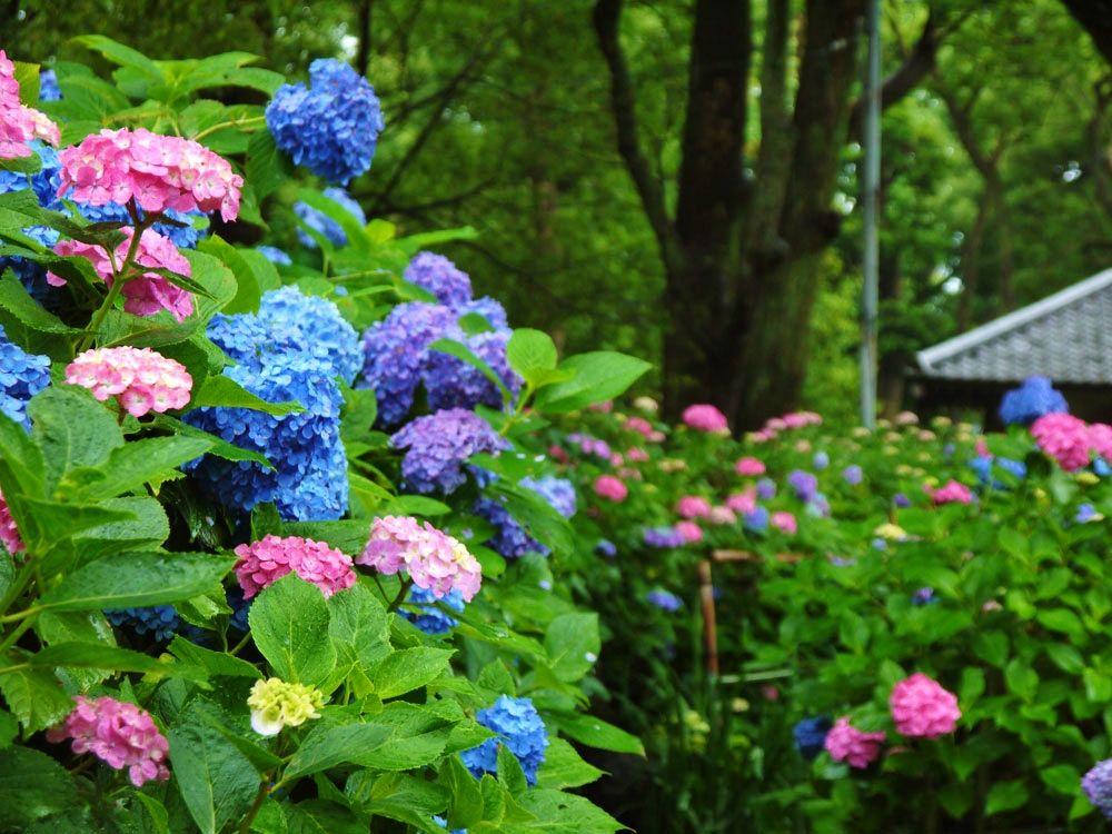 あじさいが咲くのはお寺だけじゃない、京都のおすすめ紫陽花神社