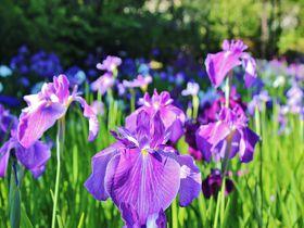 初夏の京都「梅宮大社」神苑は花の競演!花菖蒲とあじさいを愛でよう