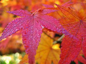 京都「常寂光寺」の紅葉がまるで極楽浄土のような美しさ!