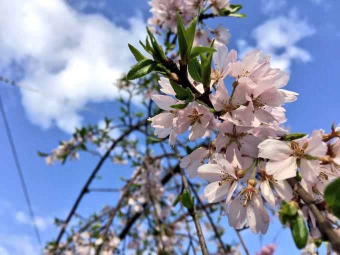 嵐山駅リニューアルと共に、キミマツサクラ植樹!