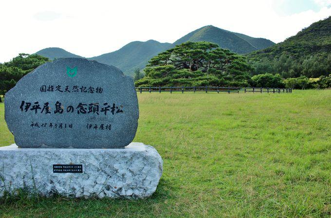 伊平屋島のシンボル!「念頭平松」は沖縄二大名松のひとつ | 沖縄県 ...