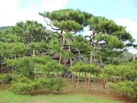 伊平屋島のシンボル!「念頭平松」は沖縄二大名松のひとつ