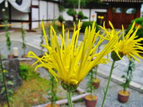 秋の京都「大覚寺」は嵯峨菊展で王朝の菊を愛でよう