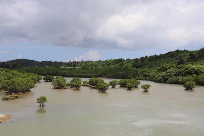 宮古島最大規模「島尻のマングローブ林」