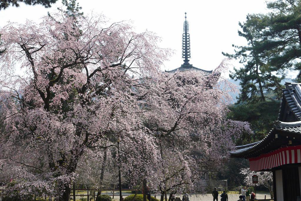 五重塔としだれ桜