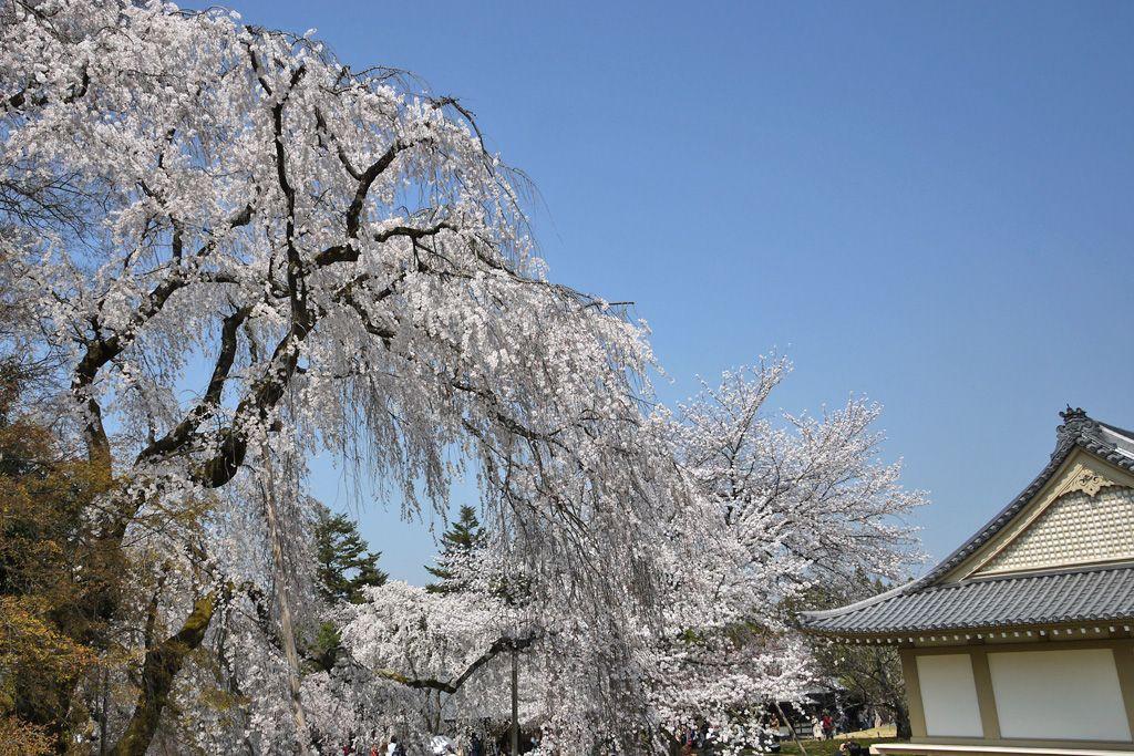 醍醐は桜の名所ではなかった?壮大なる下準備!