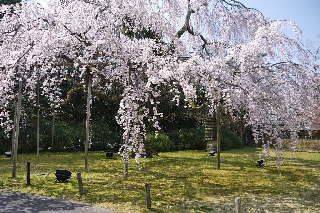 霊宝館のしだれ桜