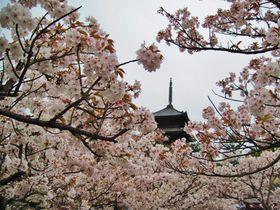京都「御室仁和寺」で遅咲きの御室桜を愛でよう