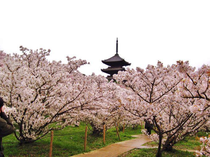 目線の高さで楽しめる!京で最後に咲く桜の名所「京都・御室仁和寺」