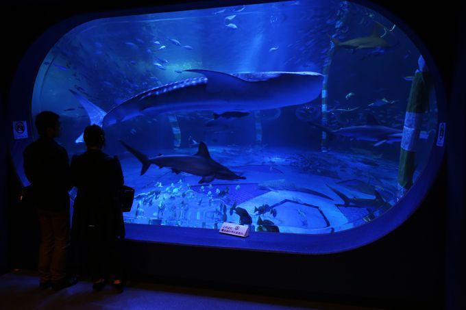 世界最大の魚類ジンベエザメが泳ぐ「青の世界」!!