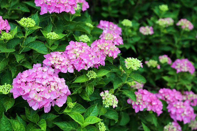 紫陽花に埋め尽くされた境内は癒しの空間!