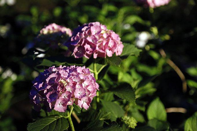 行燈やろうそくの灯りが照らし出す紫陽花は幻想的!ロマンチックな空間を演出♪