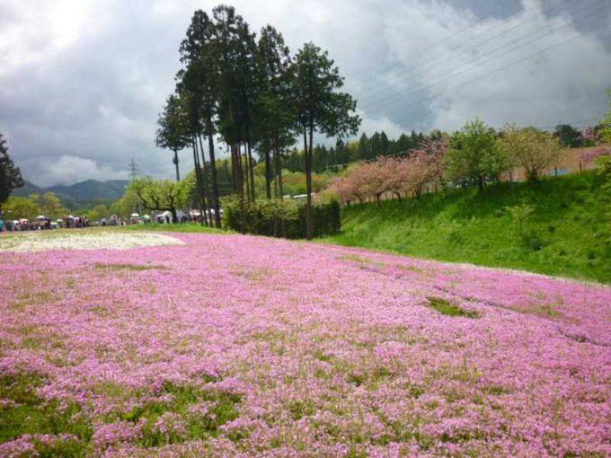 桜と芝桜の競演です。