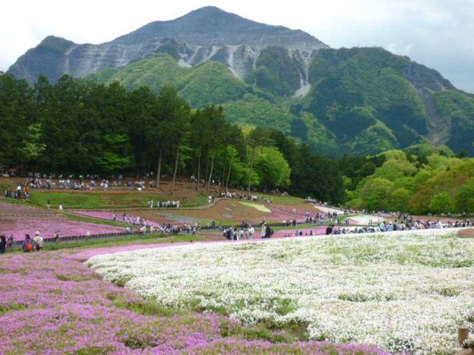 芝桜の向こうには武甲山が見えます。