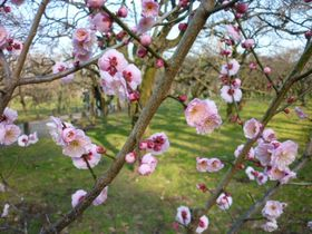 100種類3000本が咲く、水戸偕楽園の梅まつり