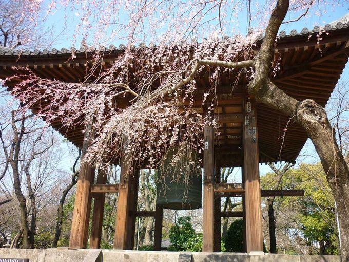 桜に映える鐘楼堂