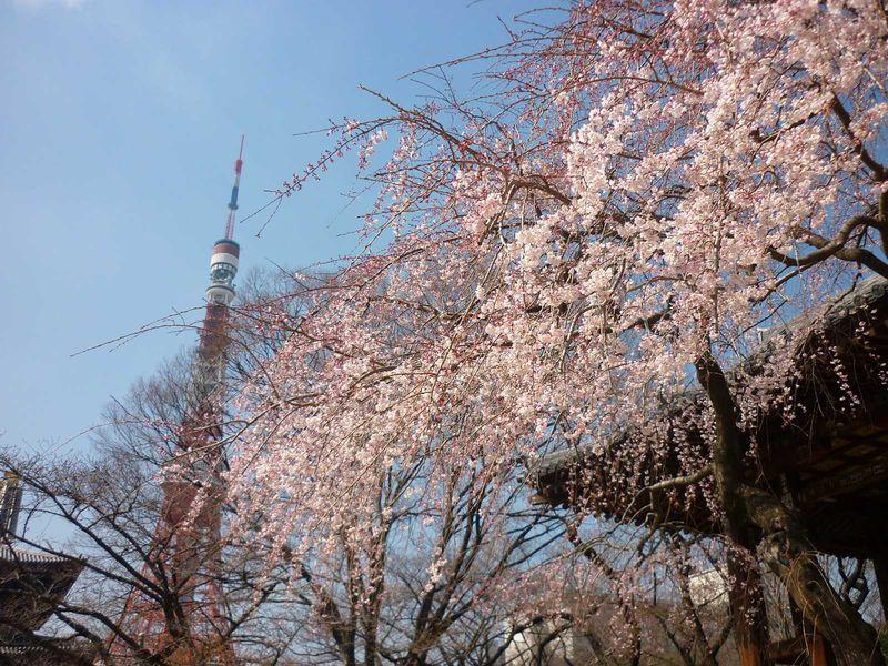 東京の開花宣言より早咲き!400本の桜が美しい増上寺の春♪
