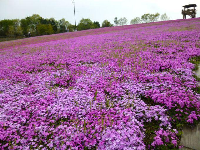 本州最大級の芝ざくら公園