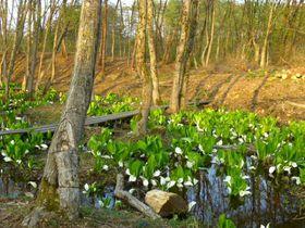 山形に春の訪れ!「いいで添川水芭蕉群生地」静かなお花見スポット