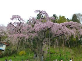 東北への桜旅!福島「三春滝桜の娘たち」見頃は4月中旬から