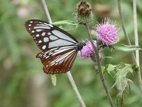 渡り蝶アサギマダラの飛来地!群馬「赤城自然園」で癒しの森散歩
