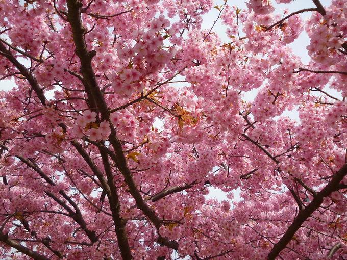 宇都宮で見られる早咲きの河津桜