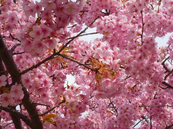 宇都宮で河津桜!「宇都宮城址公園」で2月~4月まで街ナカお花見