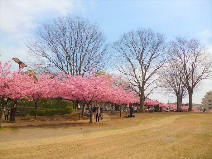 宇都宮城址公園内には河津桜が50本以上