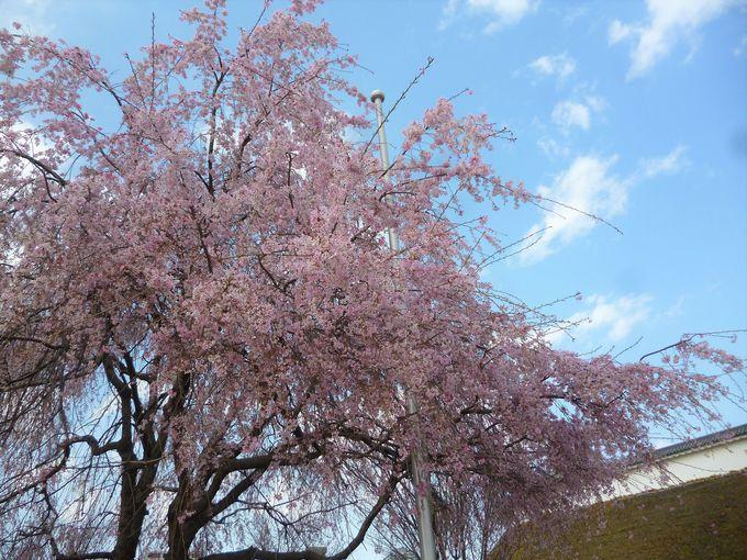 シダレザクラやソメイヨシノも咲く宇都宮城址公園