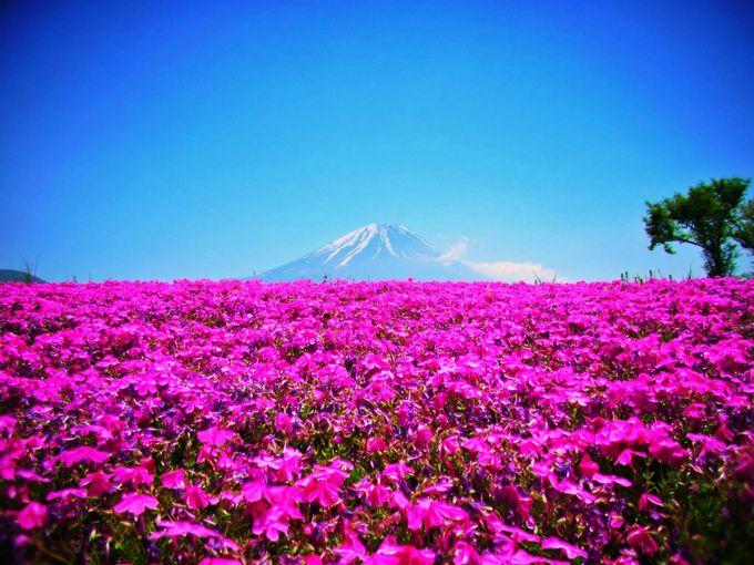 花と富士山!富士芝桜まつり!