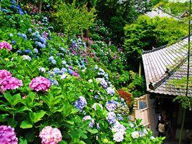 あじさいが創りだす絶景の斜面!鎌倉の長谷寺が凄い!