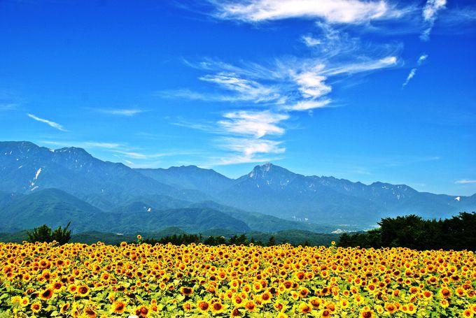 夏といえばこの景色!一面に広がるひまわりの絶景「明野のひまわり畑」