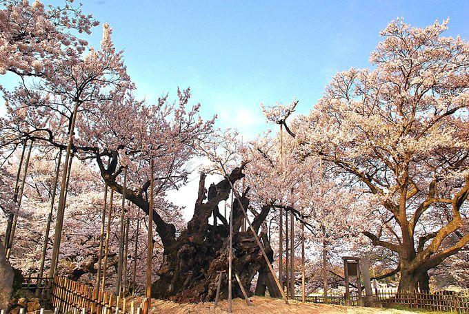 日本最古の桜!ヤマトタケルの伝説が残る山高神代桜!