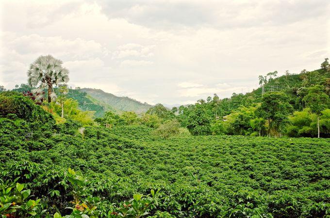 のどかなコーヒー農園の景色を堪能!