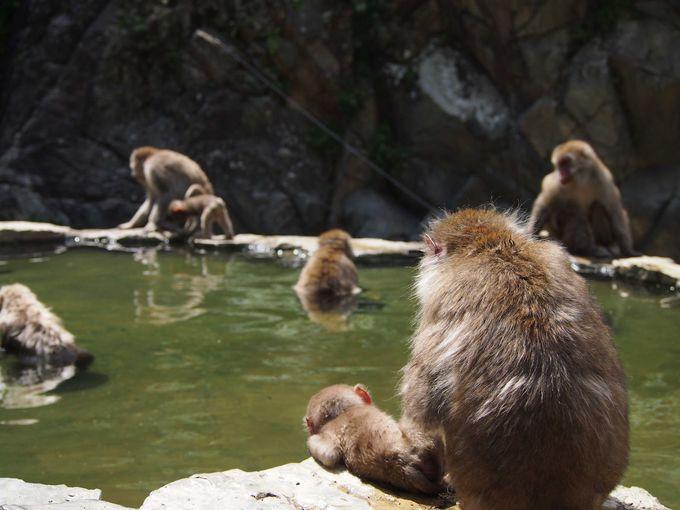 夏でもそれなりに温泉に浸かっている猿
