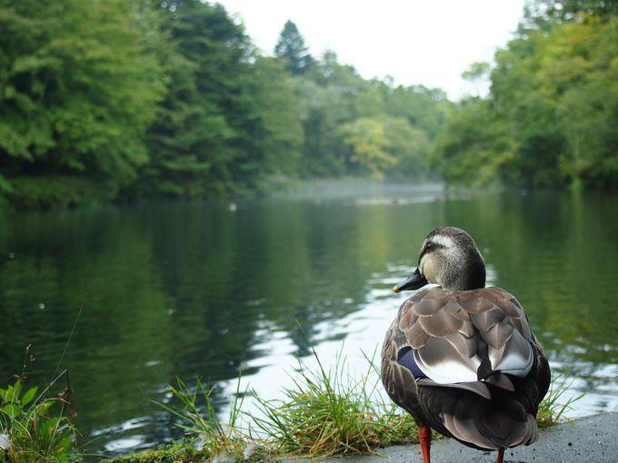 鴨がお出迎えの雲場池入口