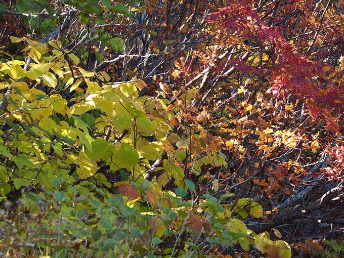 色も形も違う紅葉の競演