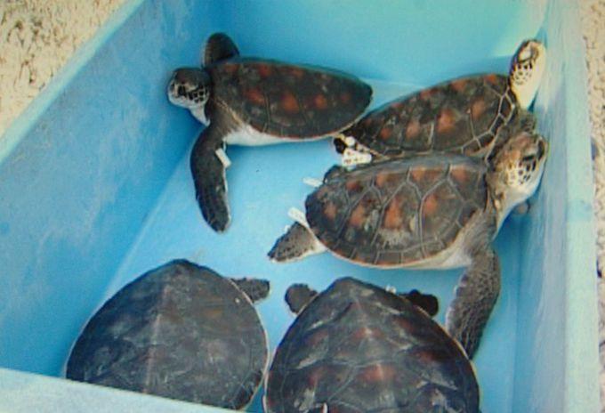 日本最大のアオウミガメの繁殖地