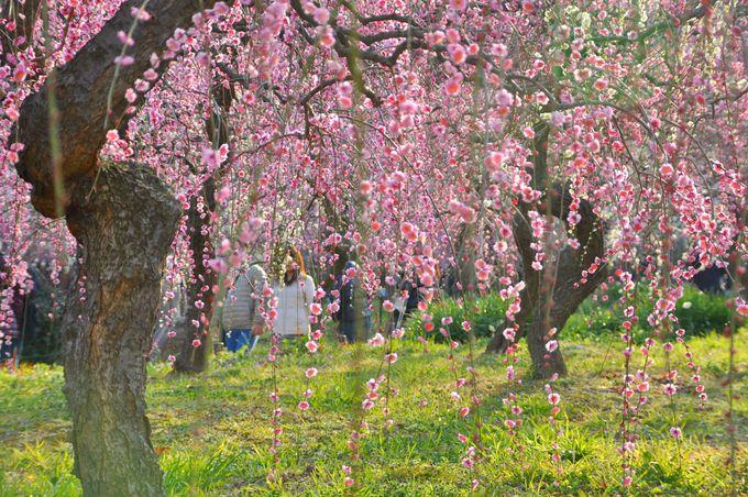 連日大賑わい、約700本の満開のしだれ梅が圧巻!