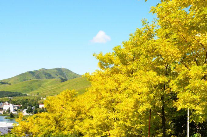 まさに百花繚乱!展望リフトから眺める黄金アカシアの丘は絶景