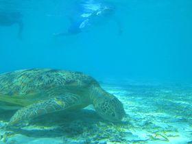 ウミガメと泳ぎたい人必見!那覇から船で50分、慶良間・座間味島へ